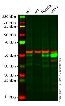Western blot - Anti-Cathepsin D antibody [EPR3054] - BSA and Azide free (ab206472)