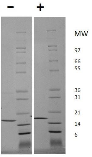 SDS-PAGE - Recombinant human TNF alpha protein (ab206641)