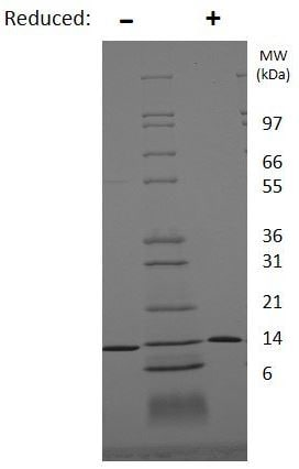 SDS-PAGE - Recombinant human BDNF protein (ab206642)