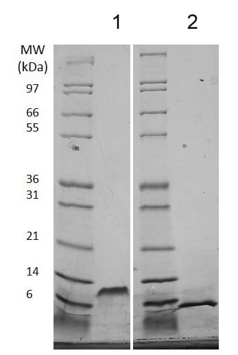 SDS-PAGE - Recombinant mouse EGF protein (Animal Free) (ab206643)