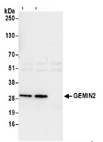 Western blot - Anti-Gemin 2 antibody (ab206690)