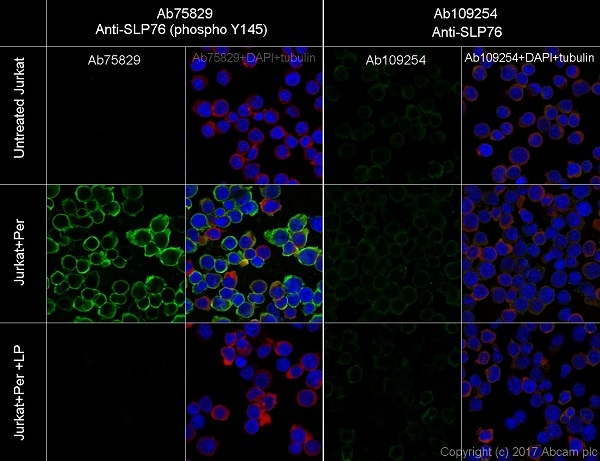 Immunocytochemistry - Anti-SLP76 (phospho Y145) antibody [EP2853Y] - BSA and Azide free (ab206782)