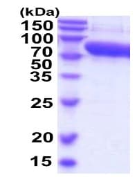 SDS-PAGE - Recombinant Mouse Alpha 2 Antiplasmin protein (ab206791)