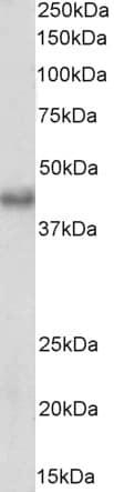 Western blot - Anti-Bmi1 antibody (ab206863)