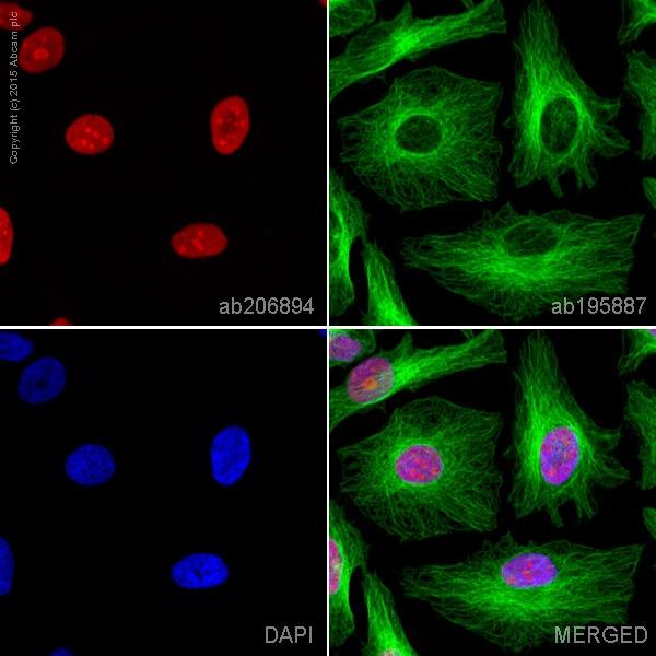 Immunocytochemistry/ Immunofluorescence - Anti-HMGB1 antibody [EPR3507] (Alexa Fluor® 594) (ab206894)