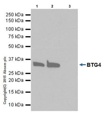 Immunoprecipitation - Anti-BTG4 antibody [EPRZJU-21] (ab206914)