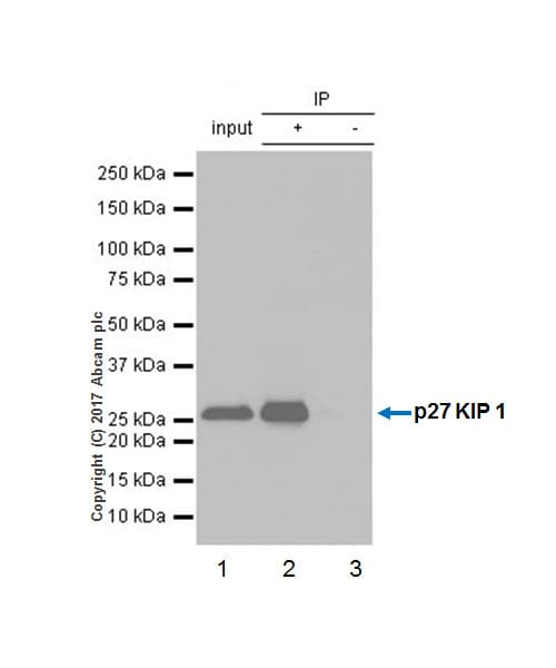 Immunoprecipitation - Anti-p27 KIP 1 antibody [Y236] - BSA and Azide free (ab206927)