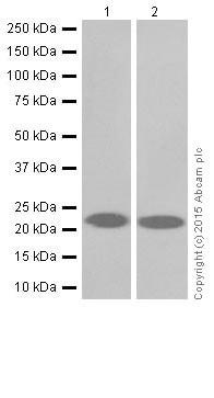 Western blot - Anti-KRAS+HRAS+NRAS antibody [EPR18713-13] (ab206969)