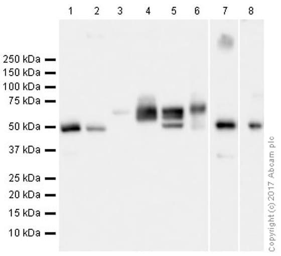 Western blot - Anti-Beta Arrestin 2 antibody [EPR22073] (ab206972)