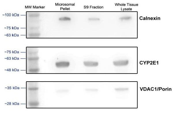 western blot analysis of microsomal and S9 fractions isolated from rat liver.