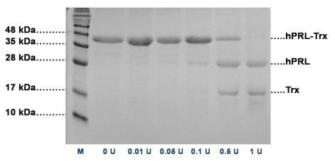 SDS-PAGE analyses of hPRL-Trx (42.3 kDa).