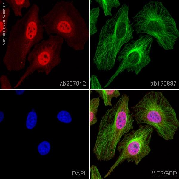 Immunocytochemistry/ Immunofluorescence - Alexa Fluor® 594 Anti-STAT6 antibody [YE361] (ab207012)