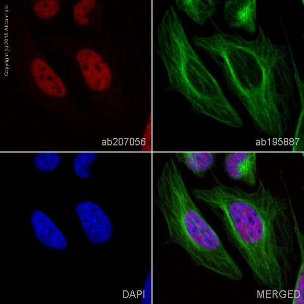 Immunocytochemistry/ Immunofluorescence - Anti-Dyrk1B/MIRK antibody [EPR5617] (Alexa Fluor® 647) (ab207056)