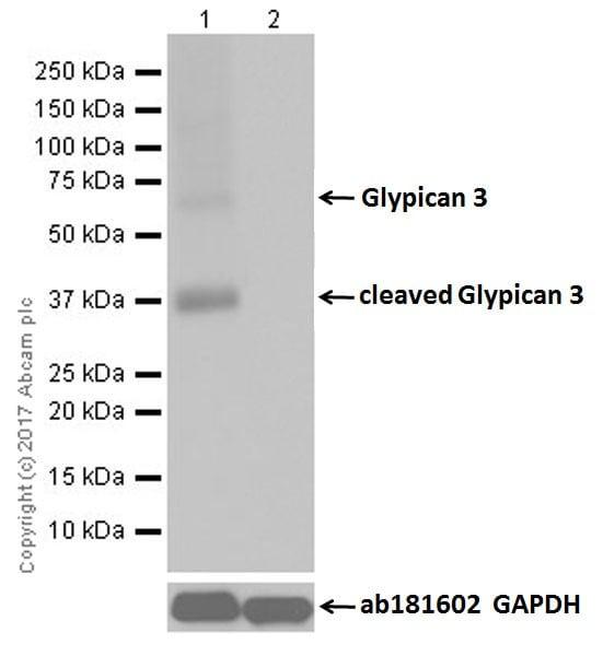 Western blot - Anti-Glypican 3 antibody [EPR20569] (ab207080)