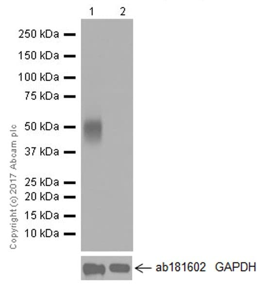 Western blot - Anti-ROR gamma antibody [EPR20006] (ab207082)