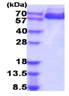 SDS-PAGE - Recombinant Human alpha 1 Fetoprotein (ab207113)
