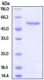 SDS-PAGE - Recombinant Rat LAG-3 protein (ab207119)
