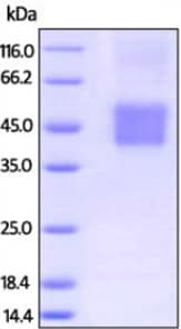 SDS-PAGE - Recombinant human CD16 protein (Biotin) (ab207125)