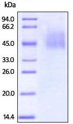 SDS-PAGE - Recombinant Human B7H4 (biotinylated ) protein (Biotin) (ab207128)