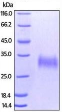 SDS-PAGE - Recombinant human CD32A protein (ab207140)