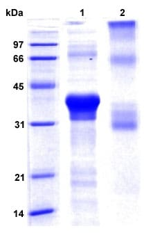 SDS-PAGE - Recombinant Human ITLN1 protein (ab207144)