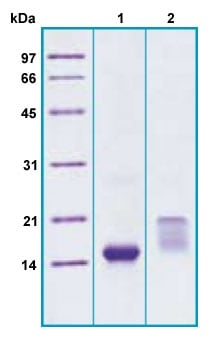SDS-PAGE - Recombinant Human TFF2 protein (ab207145)