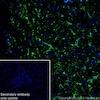 Immunohistochemistry (Frozen sections) - Anti-GFAP antibody [EPR19996] (ab207165)