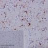 Immunohistochemistry (Formalin/PFA-fixed paraffin-embedded sections) - Anti-GFAP antibody [EPR19996] (ab207165)