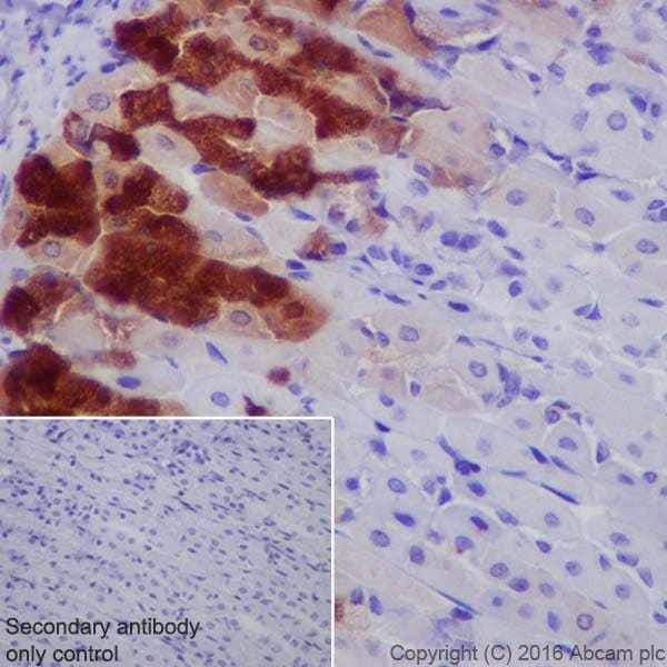 Immunohistochemistry (Formalin/PFA-fixed paraffin-embedded sections) - Anti-AMCase antibody [EPR19984] (ab207169)