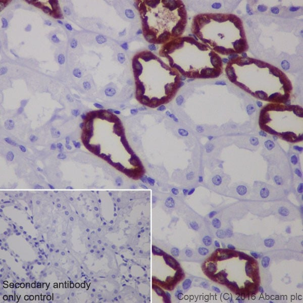 Immunohistochemistry (Formalin/PFA-fixed paraffin-embedded sections) - Anti-UMOD antibody [EPR20070] (ab207171)