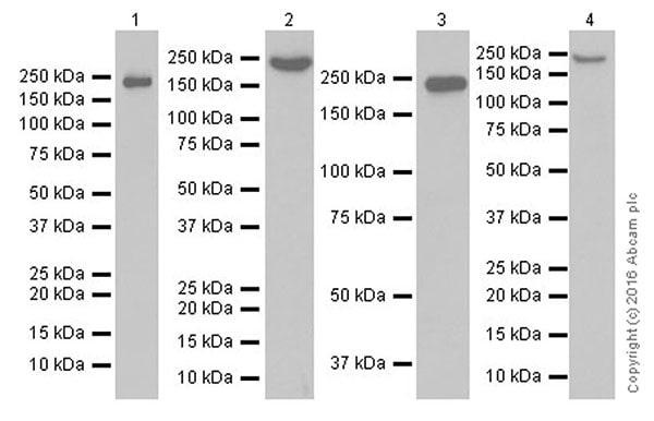 Western blot - Anti-Neurofilament heavy polypeptide antibody [EPR20020] (ab207176)