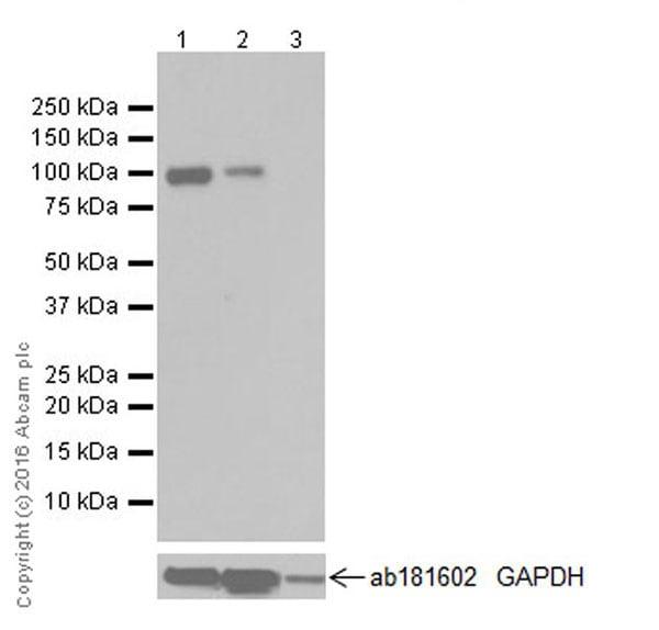 Western blot - Anti-Fibroblast activation protein, alpha antibody [EPR20021] (ab207178)
