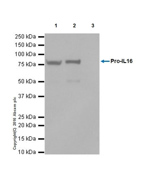 Immunoprecipitation - Anti-IL-16 antibody [EPR19988] (ab207181)