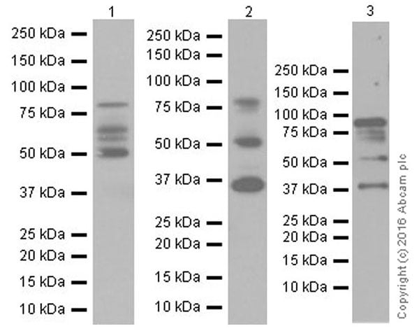 Western blot - Anti-IL-16 antibody [EPR19988] (ab207181)
