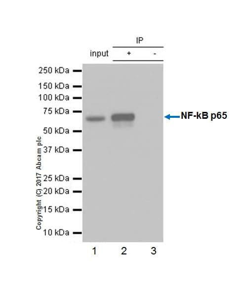 Immunoprecipitation - Anti-NF-kB p65 antibody [E379] - BSA and Azide free (ab207297)