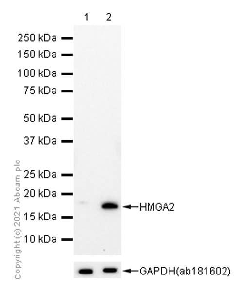 Western blot - Anti-HMGA2 antibody [EPR18114] (ab207301)