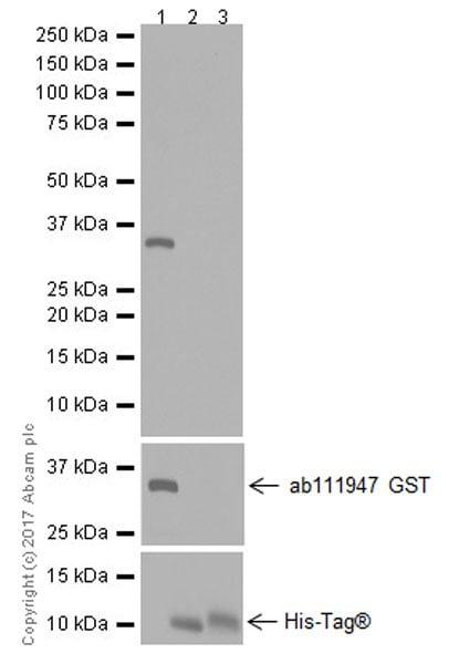 Western blot - Anti-BMP9 antibody [EPR20009] (ab207318)