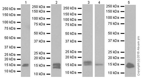 Western blot - Anti-FGF1 antibody [EPR19989] (ab207321)