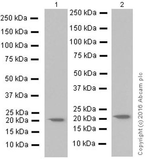 Western blot - Anti-IL-18 antibody [EPR19954] (ab207324)