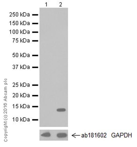 Western blot - Anti-IL-2 antibody [EPR20055] (ab207325)