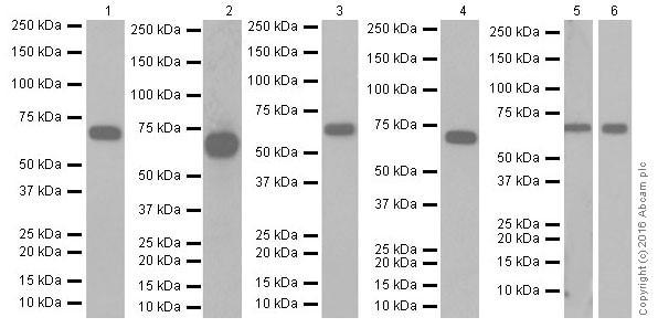 Western blot - Anti-Albumin antibody [EPR20195] (ab207327)