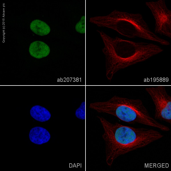 Immunocytochemistry/ Immunofluorescence - Anti-NELFe antibody [EPR11600] (Alexa Fluor® 488) (ab207381)