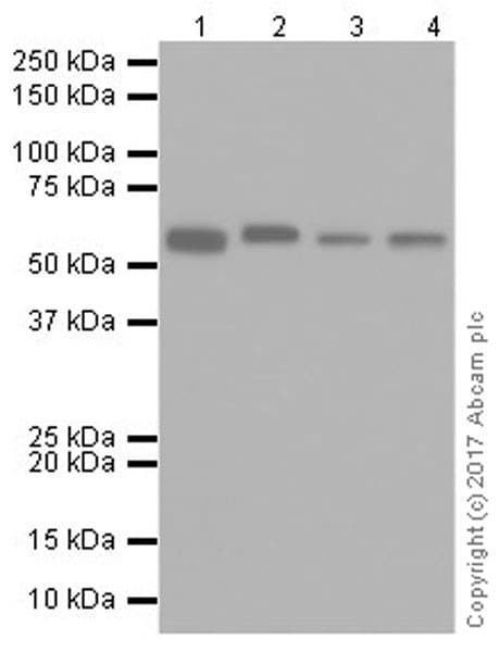 Western blot - Anti-TROVE2/SS-A antibody [EPR20322] (ab207416)