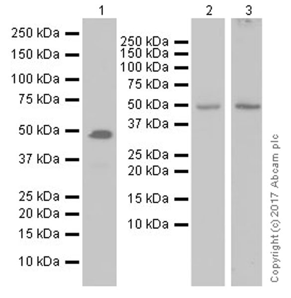 Western blot - Anti-IRF8 antibody [EPR20441] (ab207418)