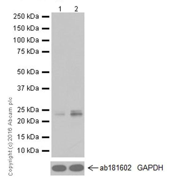 Western blot - Anti-ATF3 antibody [EPR19488] - ChIP Grade (ab207434)