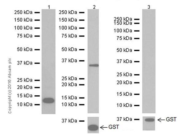 Western blot - Anti-SAA1 + SAA2 antibody [EPR19550] (ab207445)