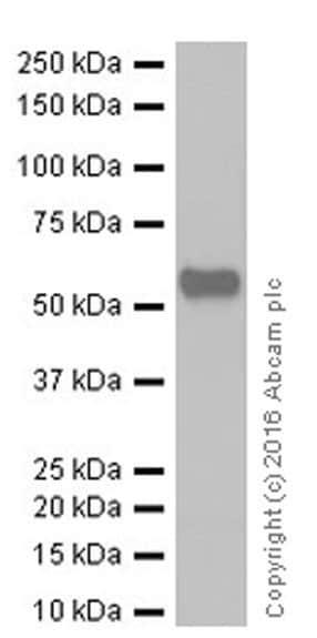 Western blot - Anti-Smad2 + Smad3 antibody [EPR19557] - ChIP Grade (ab207447)