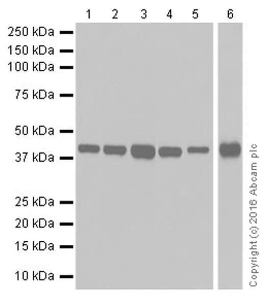 Western blot - Anti-PDK1 antibody [EPR19573] (ab207450)
