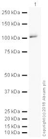 Western blot - HRP Anti-Dynamin 1 antibody [EP801Y] (ab207511)