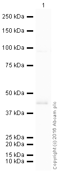 Western blot - HRP Anti-PABPN1 antibody [EP3000Y] (ab207515)